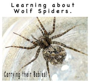 Learning About Wolf Spiders