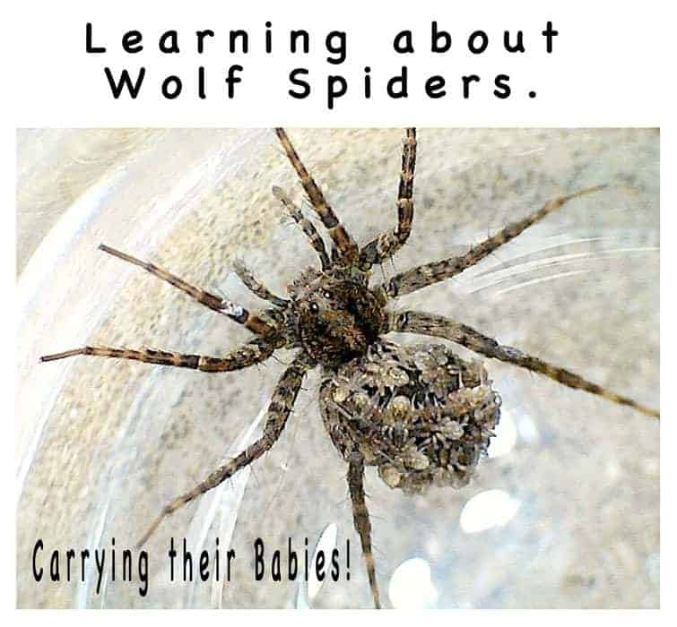Learning About Wolf Spiders Kids Craft Room