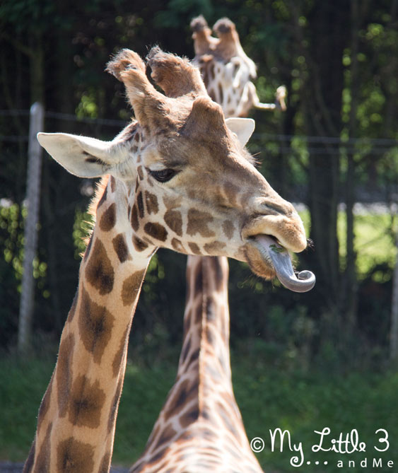 Giraffe-At-Blackpool-Zoo-A review of our Blackpool holiday from My Little 3 and Me