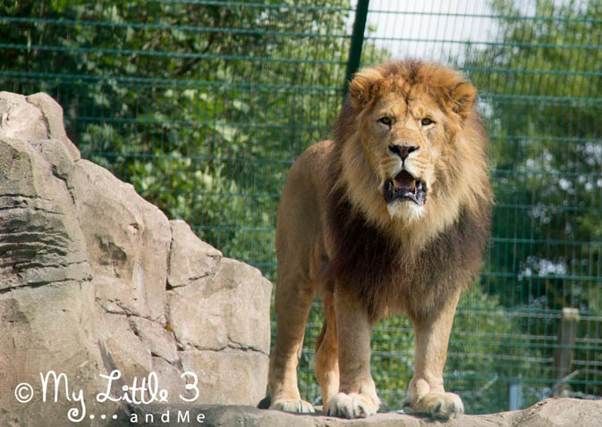 Lion-at-Blackpool-Zoo-A review of our Blackpool holiday from My Little 3 and Me