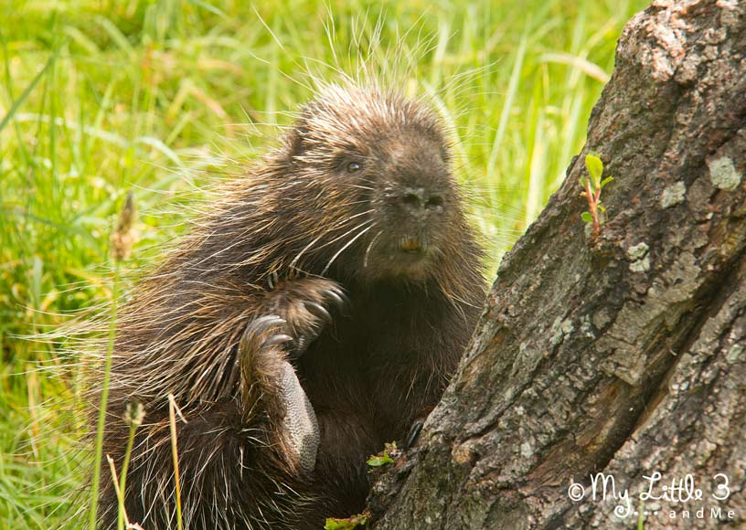 Porcupine-At-Blackpool-Zoo - A review of our Blackpool holiday from My Little 3 and Me