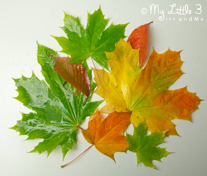 Autumn leaves to go Inside Leaf Sensory Bags, a fantastic Autumn activity for kids.