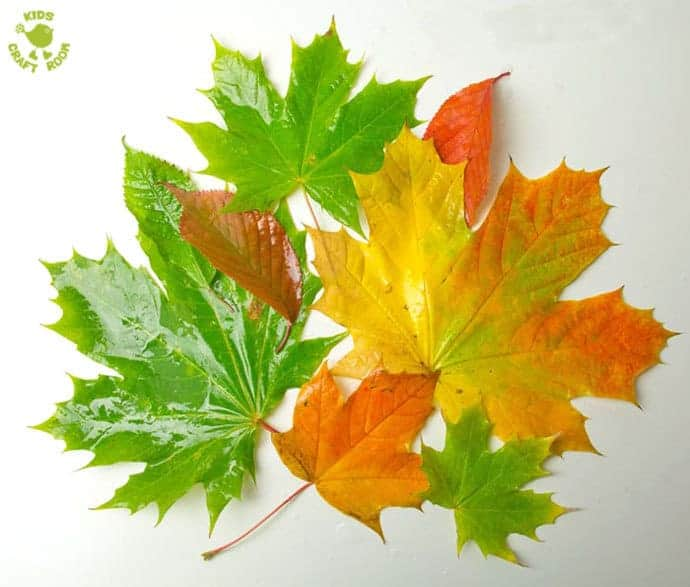 Autumn leaves to go Inside Leaf Sensory Bags, a fantastic Autumn activity for kids. LEAF SENSORY BAGS - a fantastic mess free Autumn sensory play activity for kids. Children will love to explore this Fall activity that engages the senses.